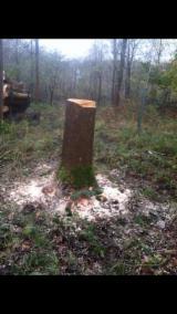 Hardwood  Logs - White Ash Saw Logs