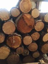 Siberian Larch Softwood Logs - Siberian Larch Saw Logs, 24+ cm x 2-4 m