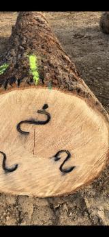 Oak  Hardwood Logs - American white oak veneer logs