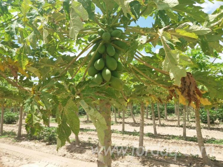 Mango-Woodland-from-Brazil-30
