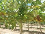 Ağaç Arazileri - Brezilya, Mango