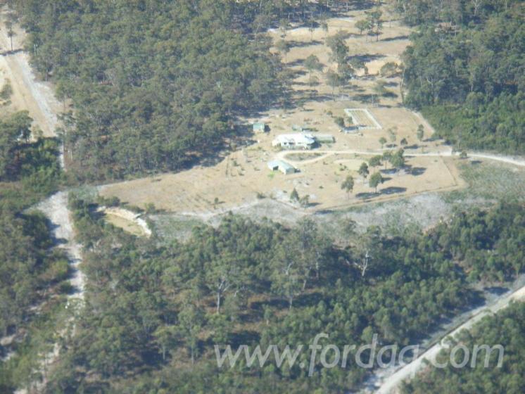 Silvertop-Ash--Eucalyptus-Plantation