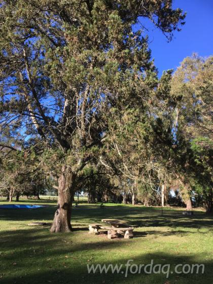 Eucalyptus--Abarco-Woodland