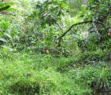 Лісисті Місцевості - Бразилія, Abarco