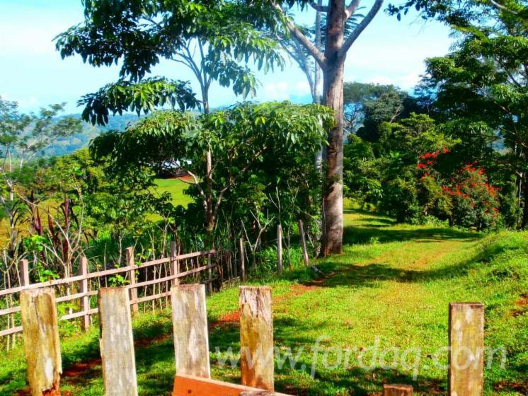Mango-Woodland-from-Costa-Rica-42