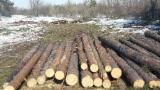 No Treatment Softwood Logs - Pine/ Siberian Pine Saw Logs, 18-60 cm
