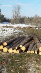 Softwood  Logs - Pine  - Scots Pine, Siberian Pine 8-17 cm 1 Poles from Russia
