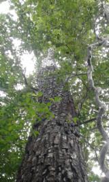 Cedro Hardwood Logs - American Mahogany/ Cedro/ Ipe Saw Logs, 35+ cm