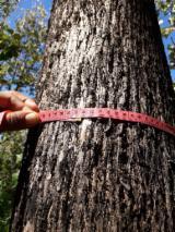 Zrelih Stabala Za Prodaju - Kupnju Ili Prodaju Stajaći Drva Na Fordaq - Kostarika, Teak