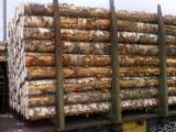 Russia Hardwood Logs - Birch Veneer Logs, A/B/C, diameter 18+ cm