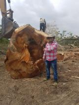 Forest And Logs South America - 80+ cm Saman Saw Logs from Ecuador