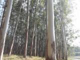 Brazil Hardwood Logs - Eucalyptus Saw Logs from Brazil, A/B/C, diameter 15-30 cm