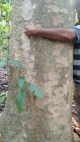 Brazilia aprovizionare - Vand Cherestea Tivită Teak 15+ mm