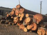 Hungary Softwood Logs - Larch Saw Logs, 35+ cm