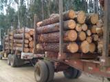 Forest and Logs - CE Rediata Pine 18 a 60 AVERAGE 30cm Industrial Saw Logs From Ecuador