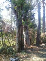 Nadelrundholz - Schnittholzstämme