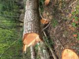 null - Douglas Fir  20-55 cm ottima Saw Logs from Italy