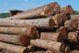 Softwood Logs for sale. Wholesale Softwood Logs exporters - Larch  400-600 mm I klasa Saw Logs Poland