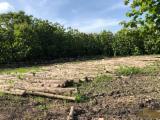 null - Troncos de madera dura tropical para aserrar teca o teak (Tectona grandis)