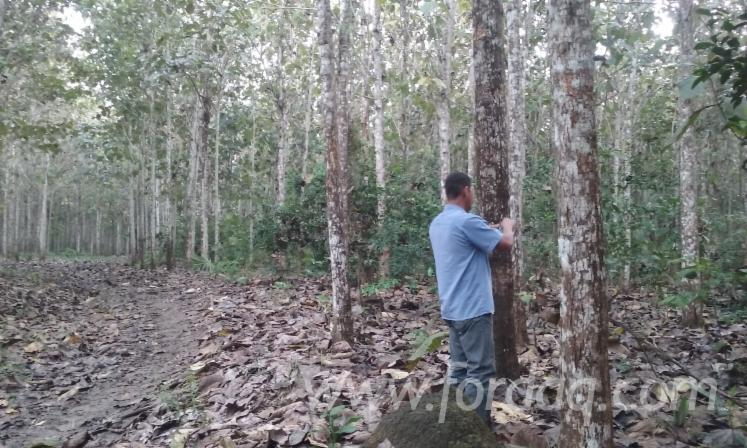 Teak-Forest-For