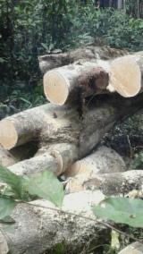 Africa Softwood Logs - Rubber Wood- Saw Logs