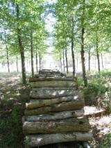 Spain Hardwood Logs - Walnut Saw Logs