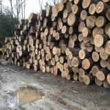 锯木, 红橡木