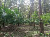 森林及原木 南美洲 - 锯木, 柚木