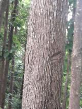 50; 60; 70; 80; 90; 100; 110; 120 mm Teak Saw Logs from Ecuador, Manabi