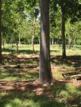 Wälder und Rundholz - Schnittholzstämme, Paulownia