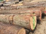 Sawn And Structural Timber Europe - Beautiful Hinoki Wood Japanese Cypress Logs