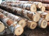 Japan Hardwood Logs - African Birch (Anoeissus Leiocarpus) saw logs