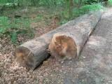 Oak  Hardwood Logs - 30+ cm Red Oak Saw Logs from Germany