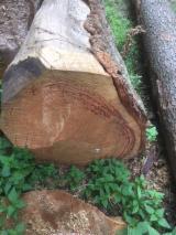 软木:原木 轉讓 - 锯木, 道格拉斯冷杉