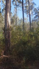 Forest and Logs - Eucalyptus Nitens Logs