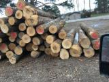 Hardwood Logs Suppliers and Buyers - Hard Maple Saw Logs with 10 in diameter