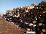 FSC Certified Softwood Logs - Pine  - Scots Pine 18+ cm А.В.С. Saw Logs from Russia