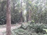 Šume I Trupce Južna Amerika - Ekvador, Teak