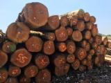 Lasy I Kłody - Kłody Tartaczne, Daglezja Zielona