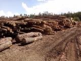 Softwood  Logs For Sale - Saw Logs, Larch , Pine  - Scots Pine