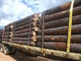 Softwood  Logs For Sale - Pitch Pine Logs, 16-60 cm