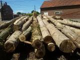 Peeling Logs - 30 cm Poplar, Serotina Peeling Logs from France, Nord