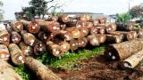 Forest and Logs - African Oak - Dabema Logs