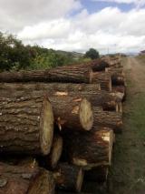 Softwood Logs Suppliers and Buyers - Radiata Pine  25 cm B Saw Logs Ecuador