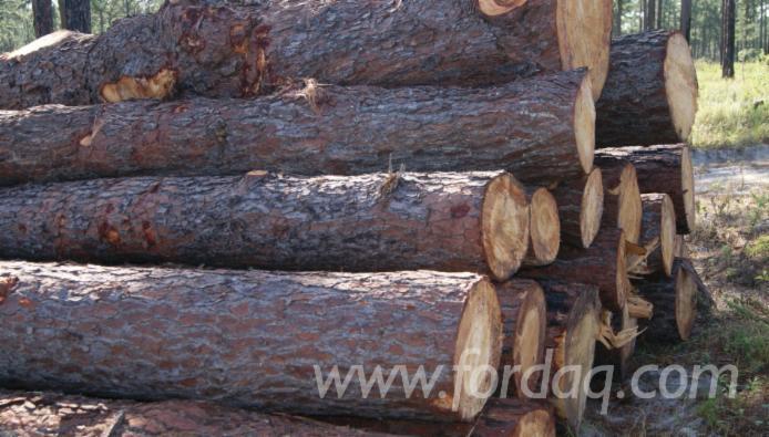 Pine Wood- Timber logs or stacks (Pinus oocarpa)