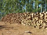 Nadelrundholz Zu Verkaufen - Stämme Für Die Industrie, Faserholz, Taeda Pine, FSC