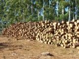 Forêts Et Grumes Amérique Du Sud - Vend Grumes De Trituration Pin Taeda FSC Montevideo