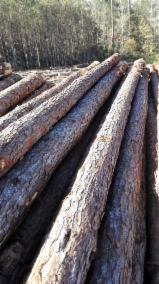 Forest and Logs - Southern Yellow Pine 20-24, 25-29, 30+ cm Sawlog Industrial Logs from USA