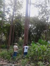 Parquet Et Lames De Terrasse Amérique Du Sud - Vend Parquet Massif - Bois Debout Thermo Traité Teak 15;  19;  21;  mm