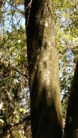 Wälder Und Rundholz Südamerika - Schnittholzstämme, Guayacan